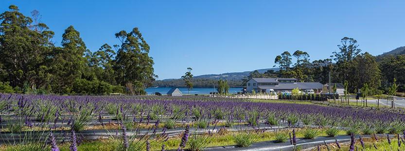 Port Arthur Lavender Tasmania